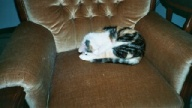 calico cat sleeping in chair